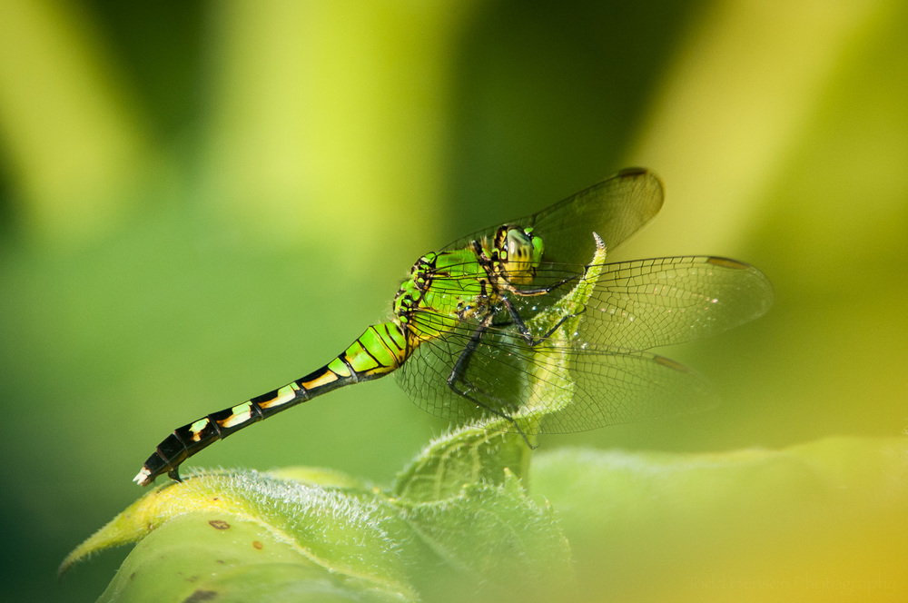 I love the green coloration of this Common Pondhawk dragonfly.