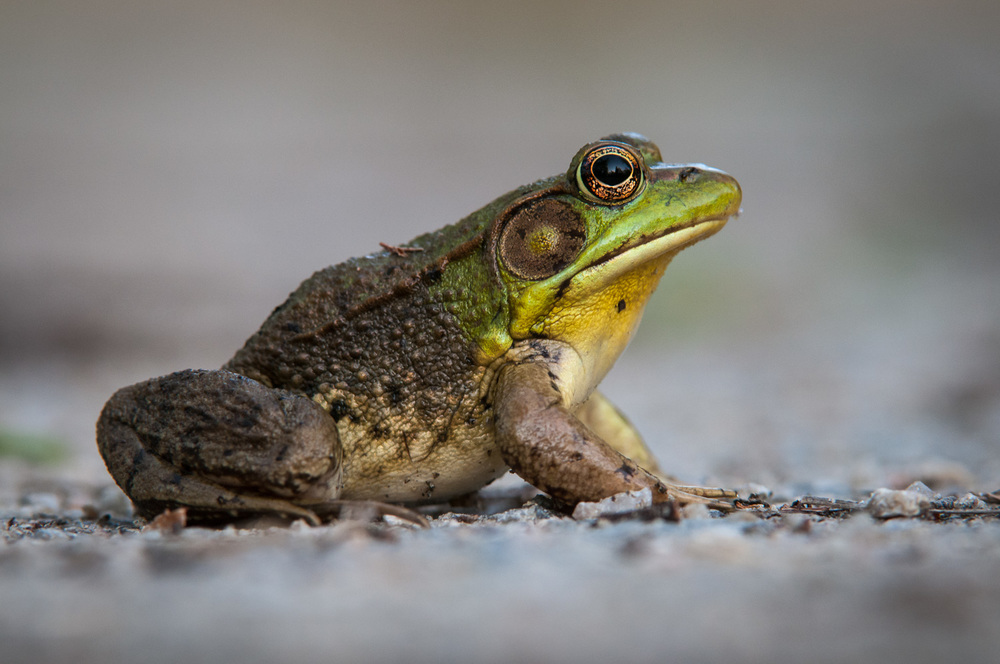 Profile of a Green Frog