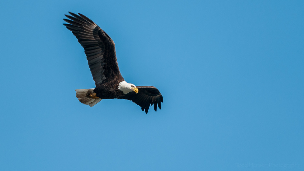 Bald Eagle searching for fish in the Susquehanna River