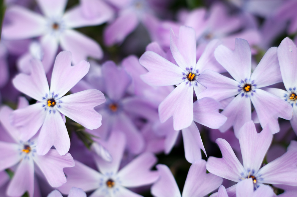 Blue Phlox (possibly Emerald Blue)