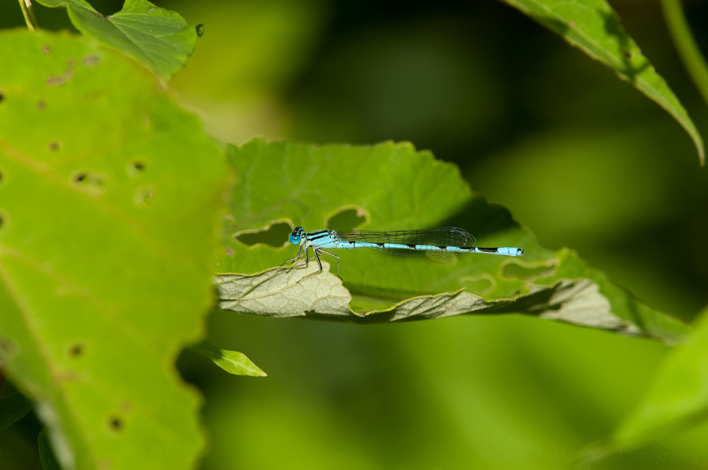 Familiar Bluet Damselfly on leaf. Still not what I'm looking for.