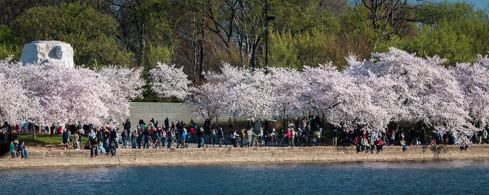Martin Luther King, Jr. Memorial from a distance, surrounded by cherry blossoms.
