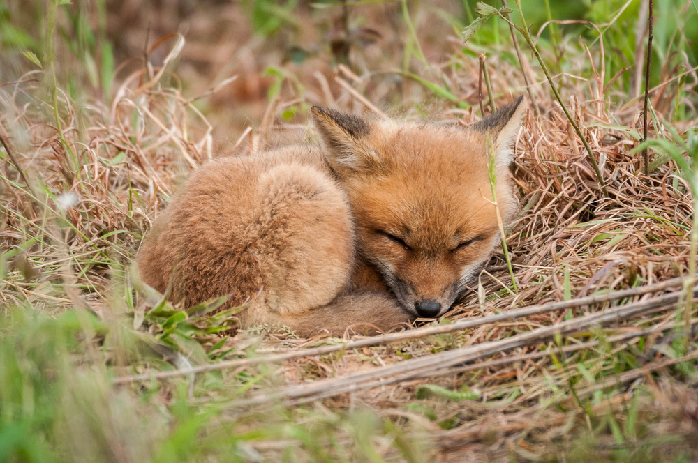Young sleeping fox. Don't get too close. Don't try to touch or pet wildlife, no matter how cute they appear.