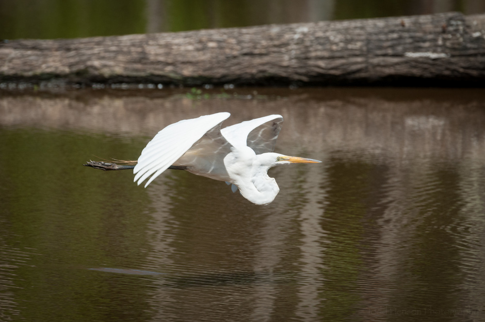 Great Egret flying low, over the wetlands pong, with fallen tree in the background