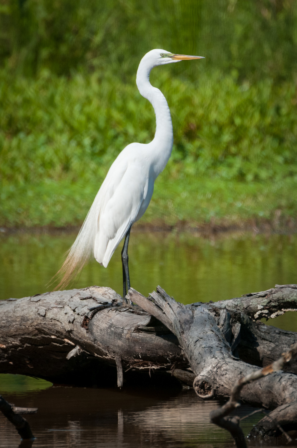 Profile of Great Egret