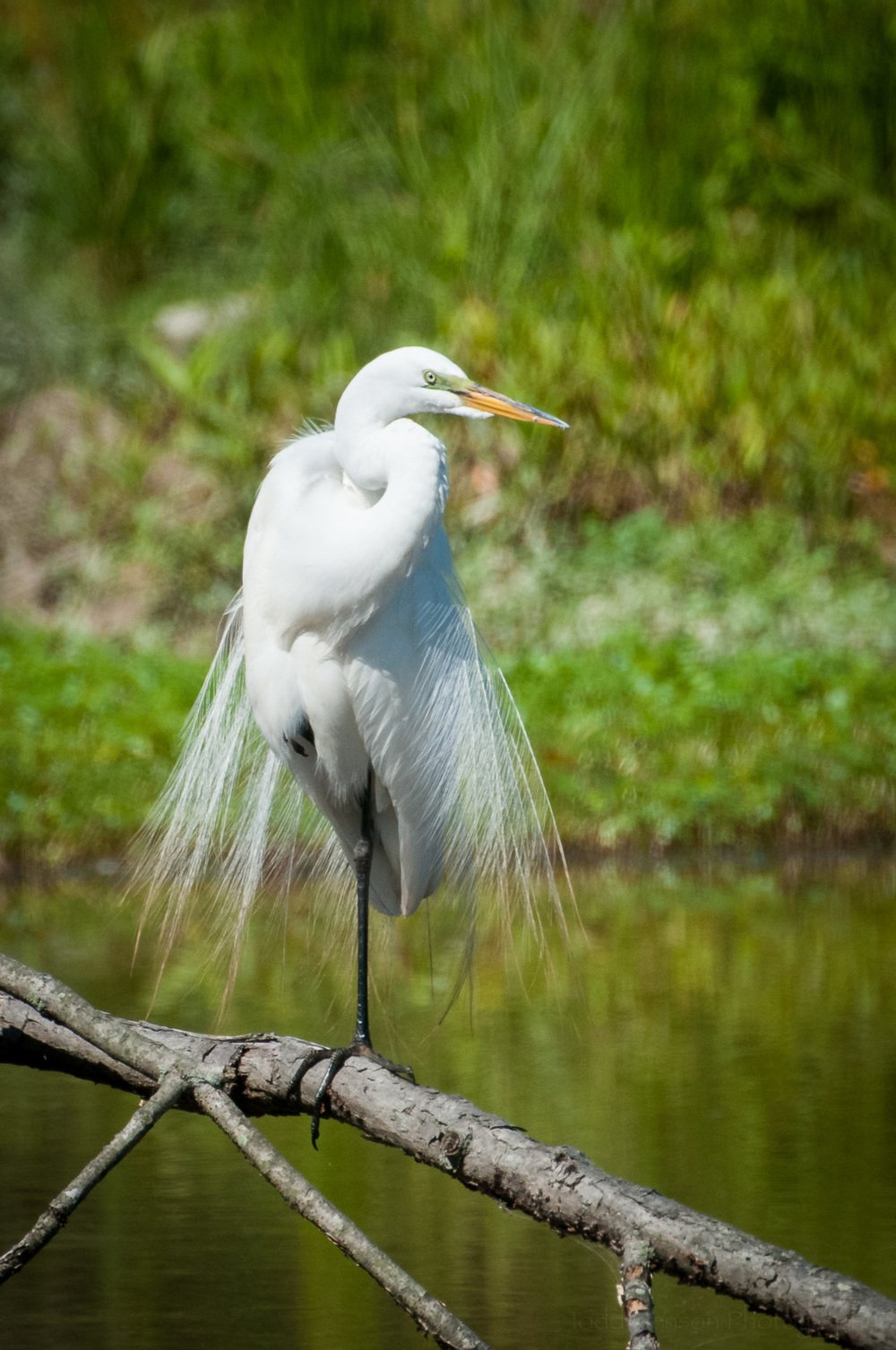 Great Egret plumage