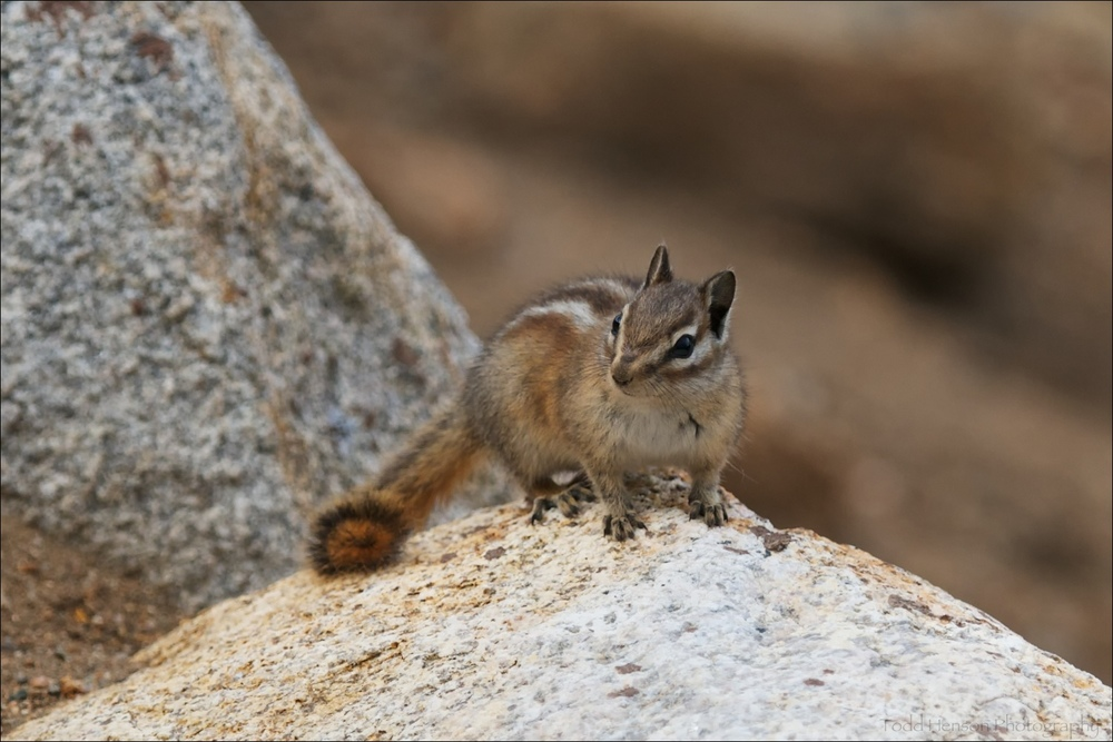 Uinta Chipmunk in Rocky Mountain National Park