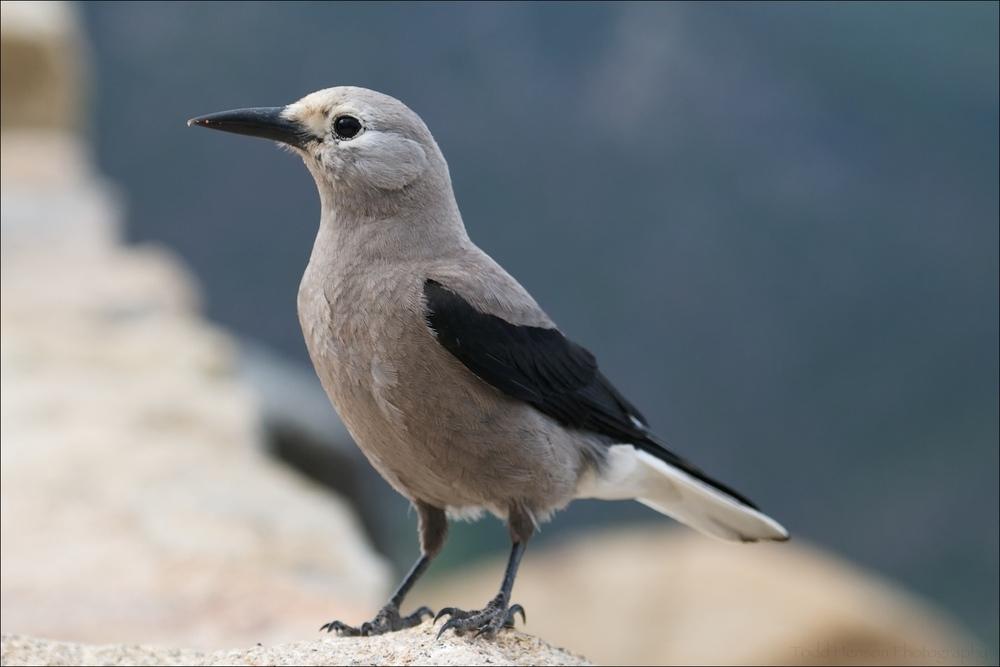 Clark's Nutcracker in Rocky Mountain National Park