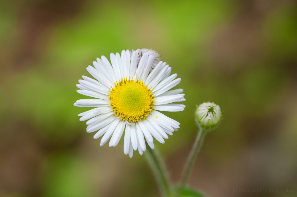 Daisy Fleabane Flower in Prince William Forest Park