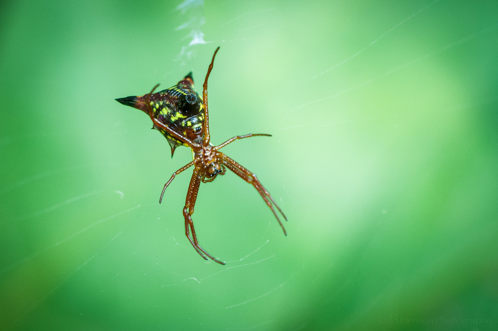 Arrowhead Orbweaver Spider in Prince William Forest Park