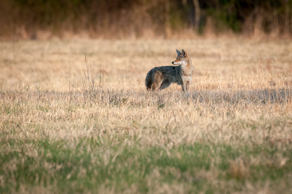 Coyote in a field looking back over its shoulder