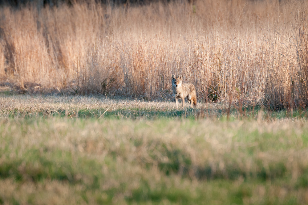 Coyote watching me from the edge of the field
