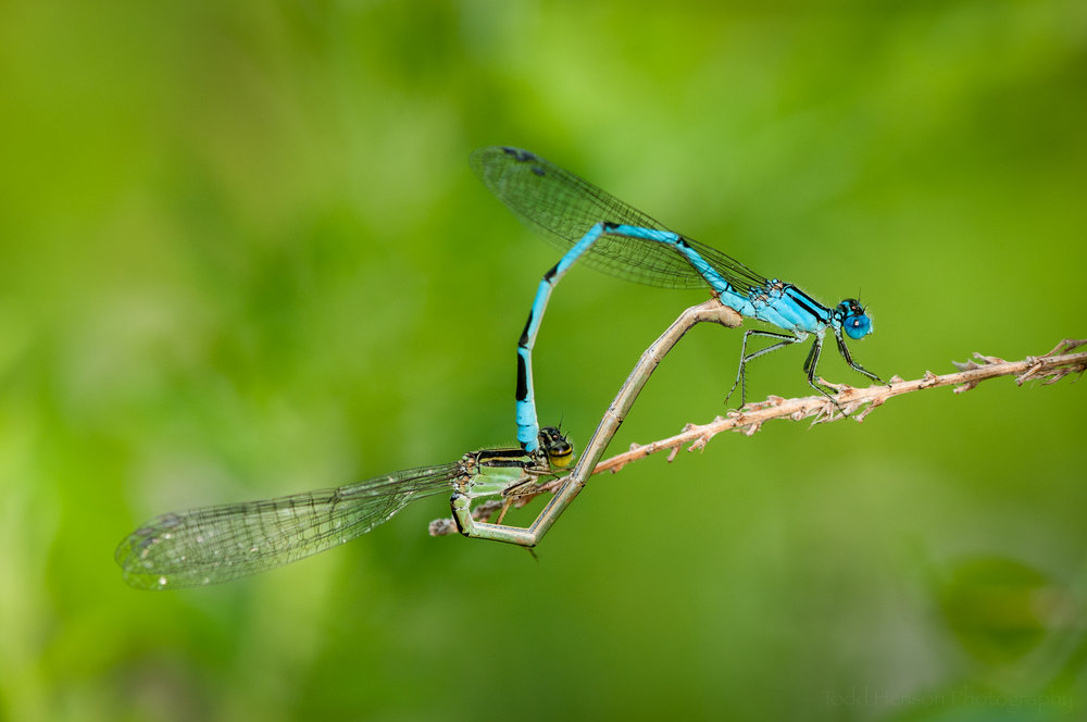 Pair of damselfly photographed with a 105mm macro lens.