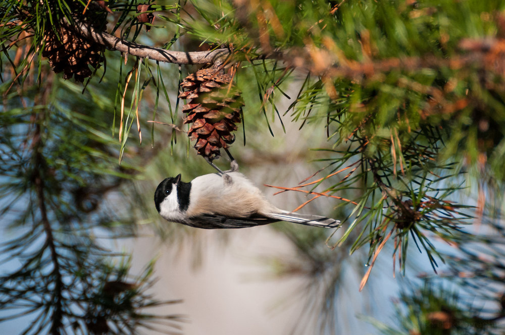 Carolina Chickadee hanging upside down from a pine coe