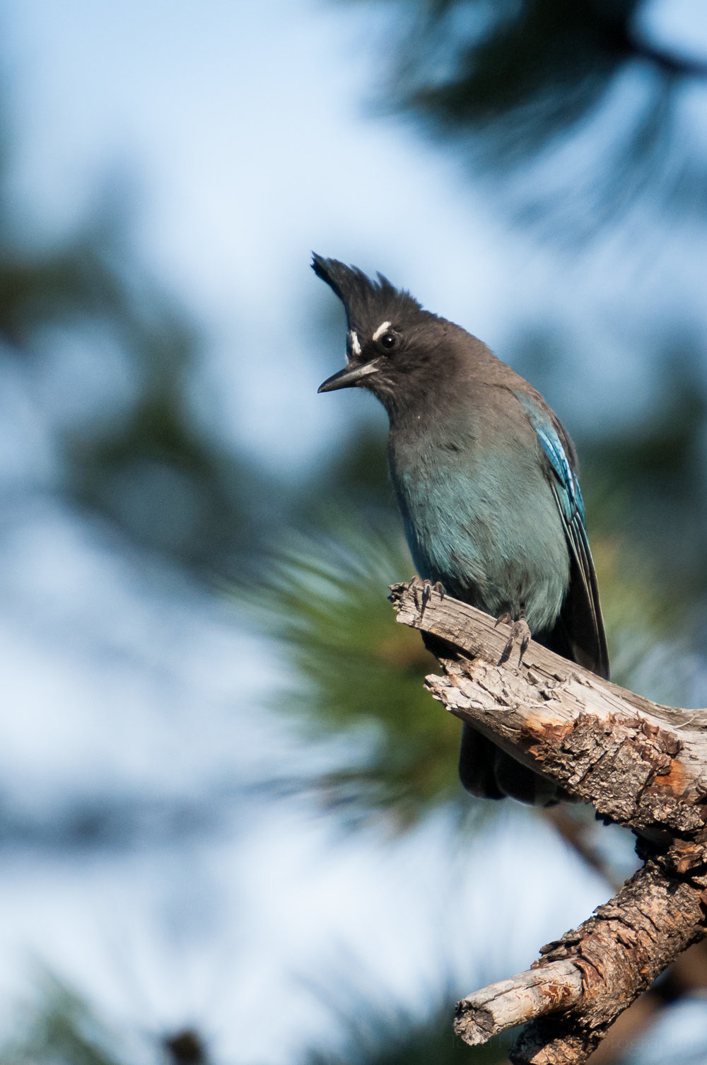 Steller's Jay, with white eye brows, perched on a branch