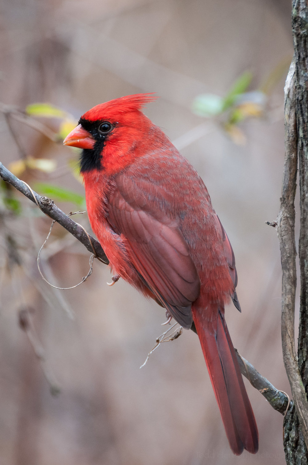 Bright red male Northern Cardinal perched on a branch