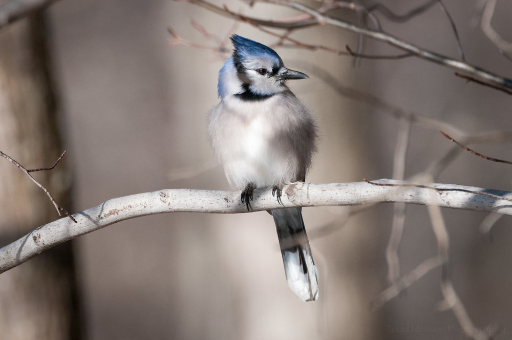 Beautiful Blue Jay posing for a portrait on a branch