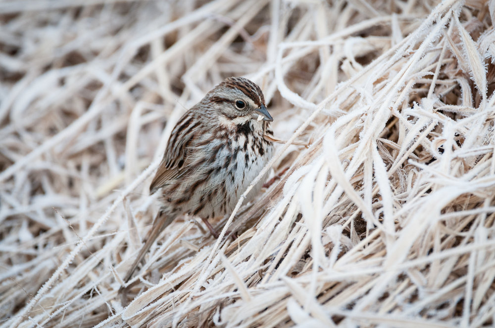 Song Sparrow contemplating a piece of marsh grass