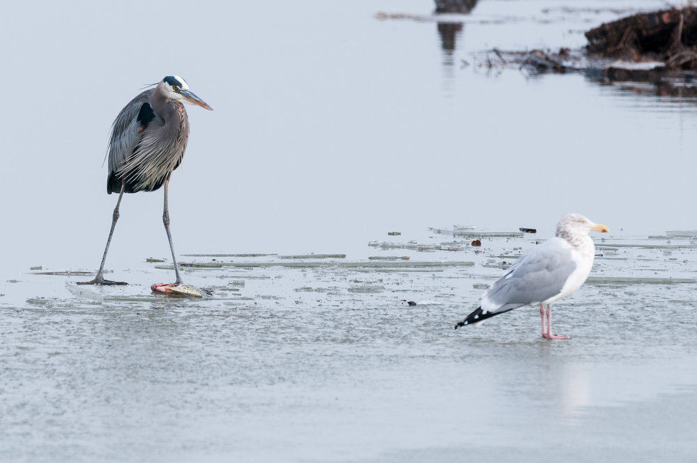 Great Blue Heron, standing over the fish, staring down the Herring Gull