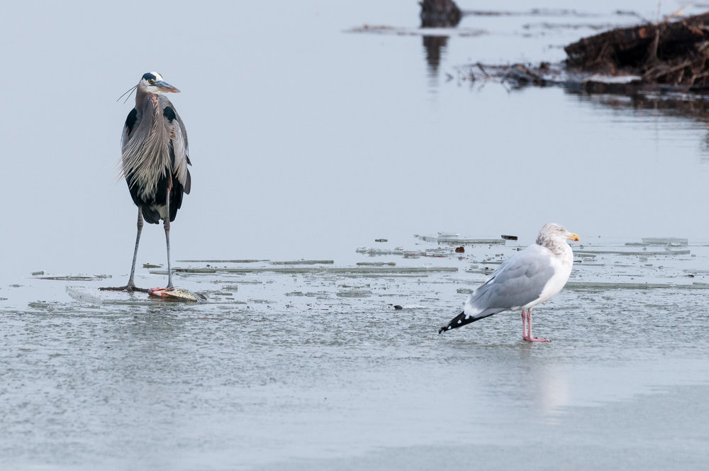Prolonged standoff between Great Blue Heron and Herring Gull