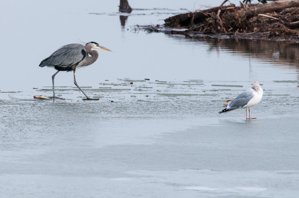 The Great Blue Heron grows bored with the Herring Gull and returns to its island