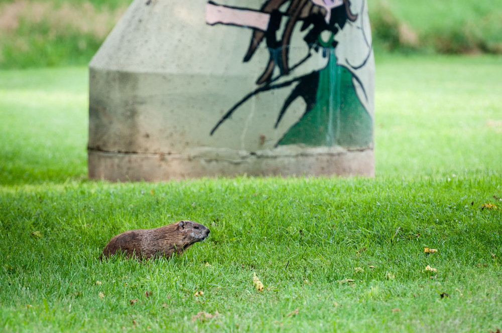 Groundhog along the Hawksbill Greenway in Luray, Virginia