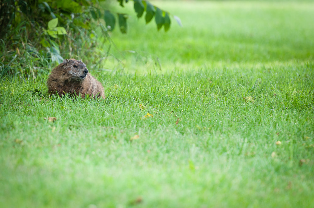 Groundhog at the edge of the bushes