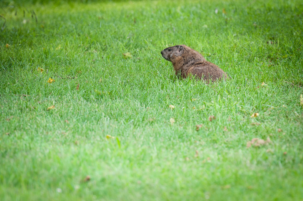 Groundhog looking off to the left