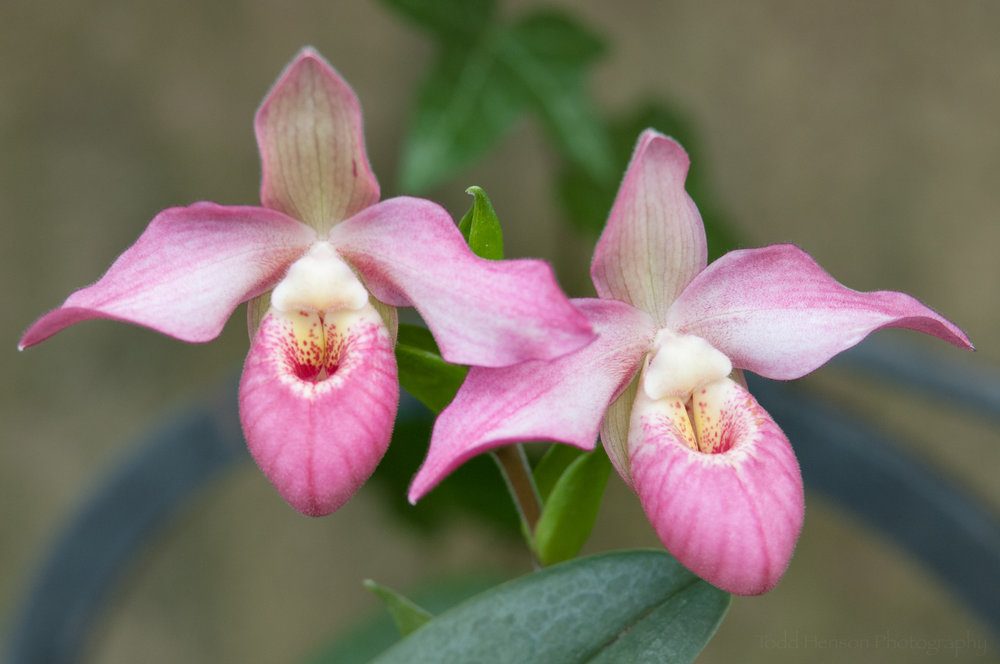 Pair of orchids at Longwood Gardens' Orchid Extravaganza