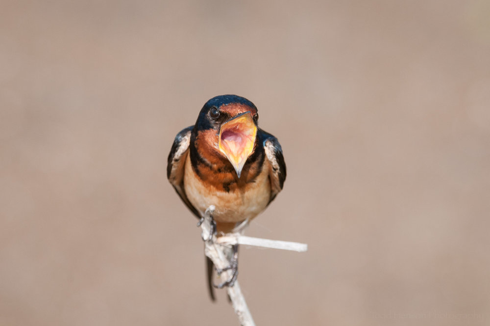 Singing Barn Swallow