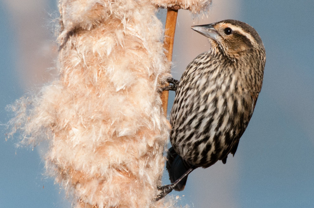Female red-winged blackbird looking normal with eye open.