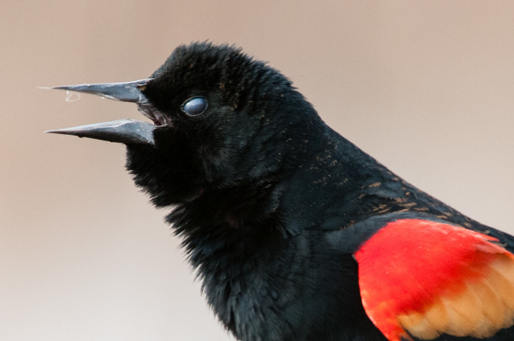 Male red-winged blackbird with nictitating membrane closed.