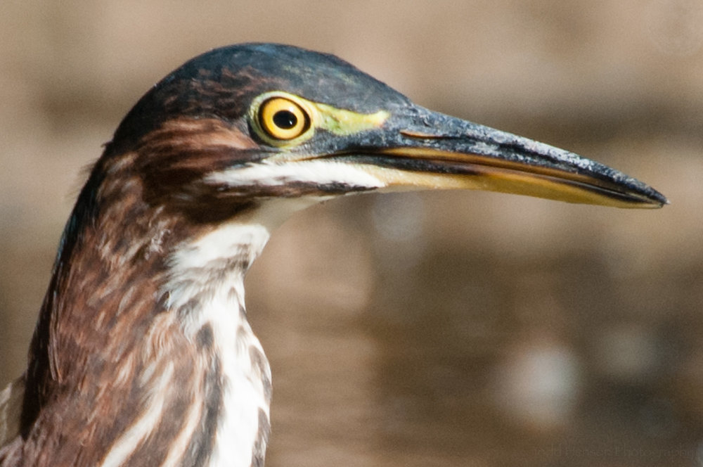 Green Heron with eye wide open.