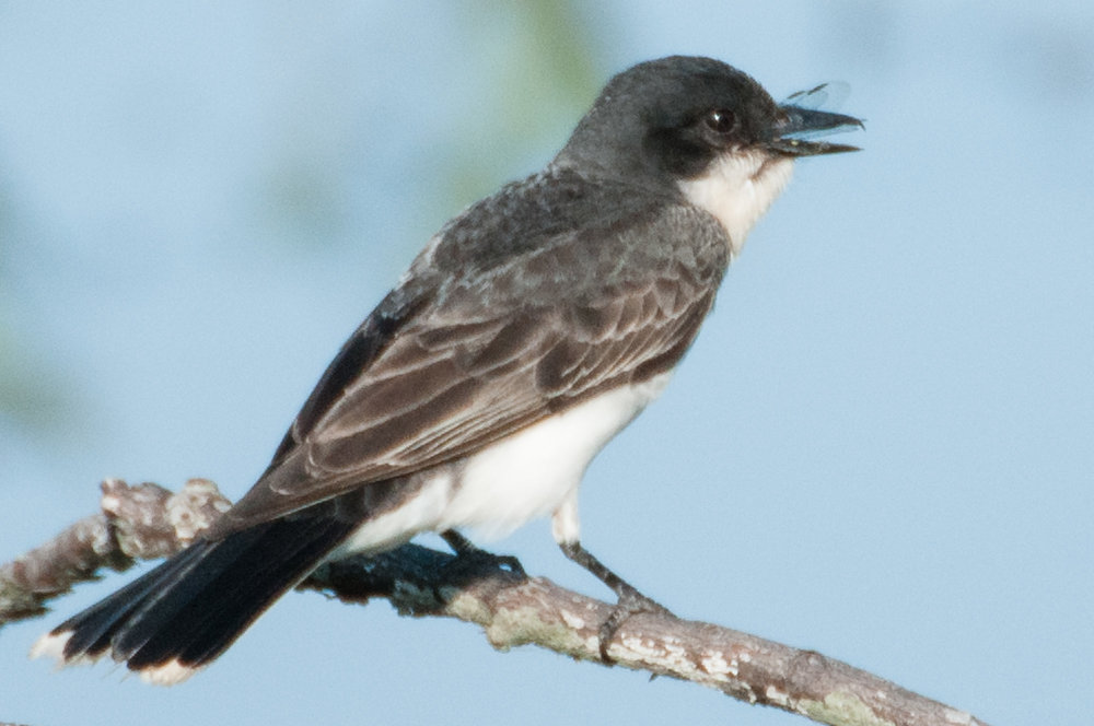 Eastern Phoebe with eye open.