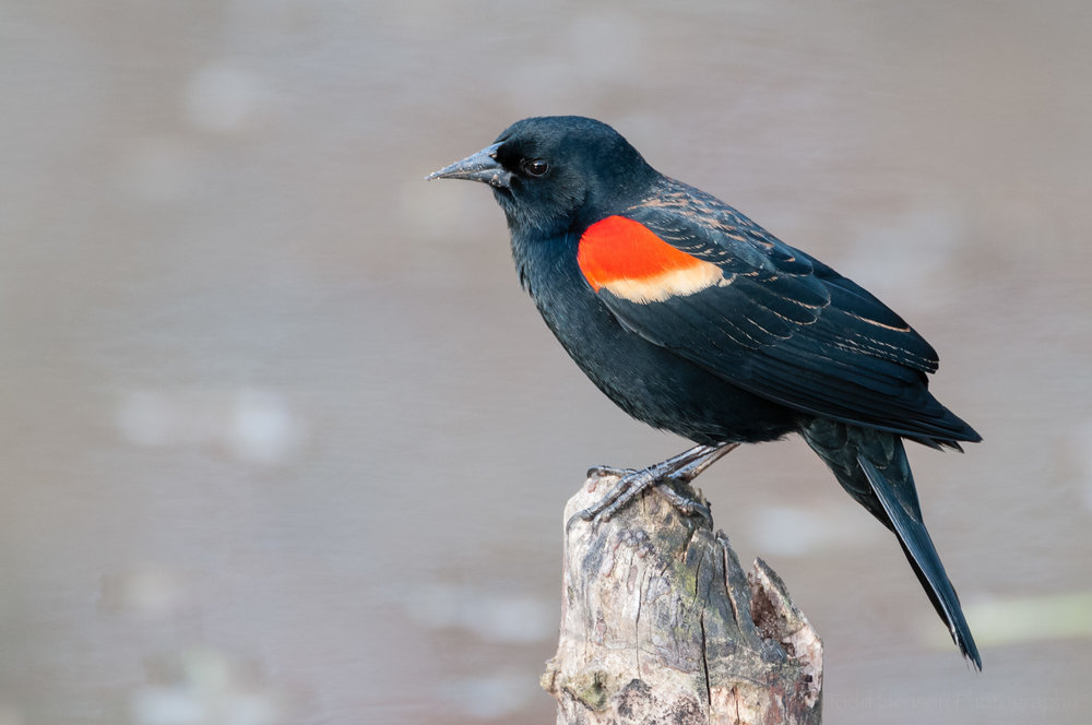 Male Red-winged Blackbird perched on a stump