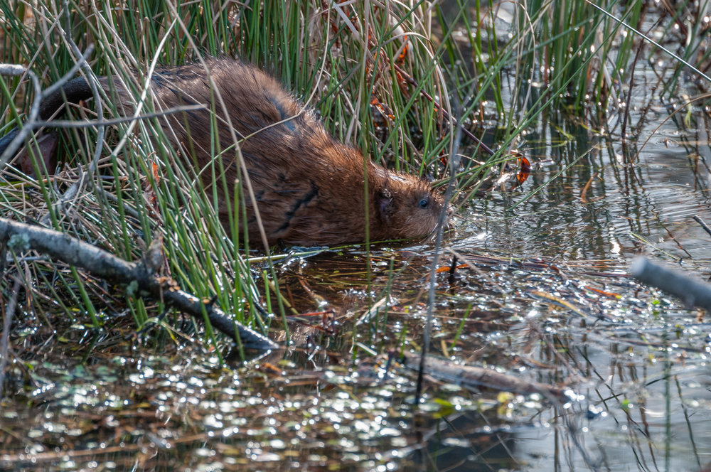 Muskrat entering the water
