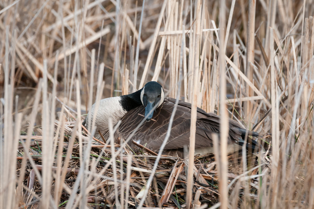 Canada Goose rearranging branches and reeds on her nest
