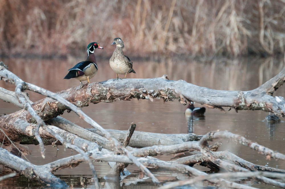 Mates pair of Wood Ducks on a downed tree