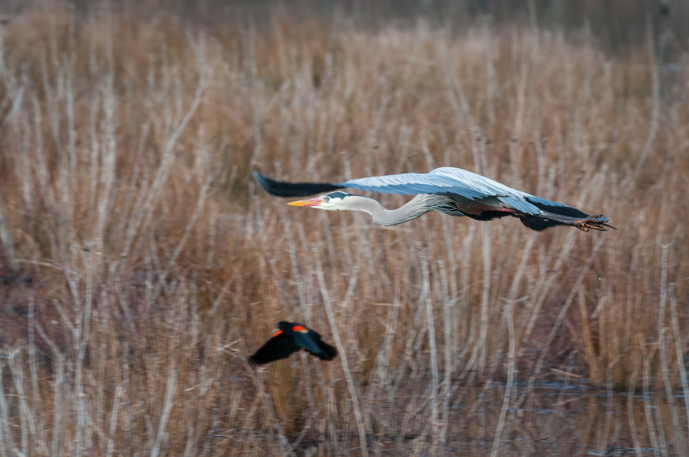 Great Blue Heron flying away with Red-winged Blackbird in foreground