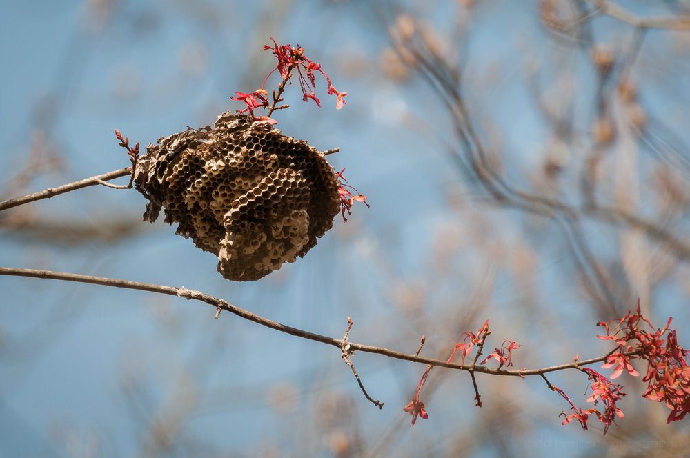 Old Insect Nest in Tree