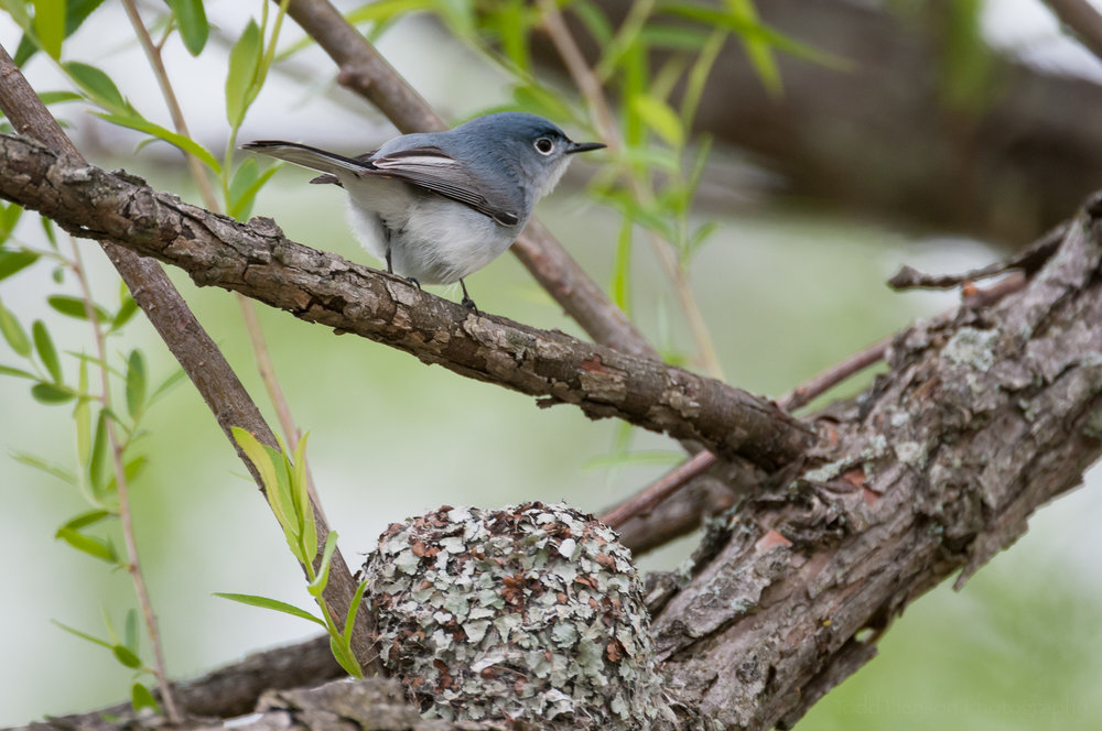 Male Blue-Gray Gnatcatcher sitting on a limb above the nest