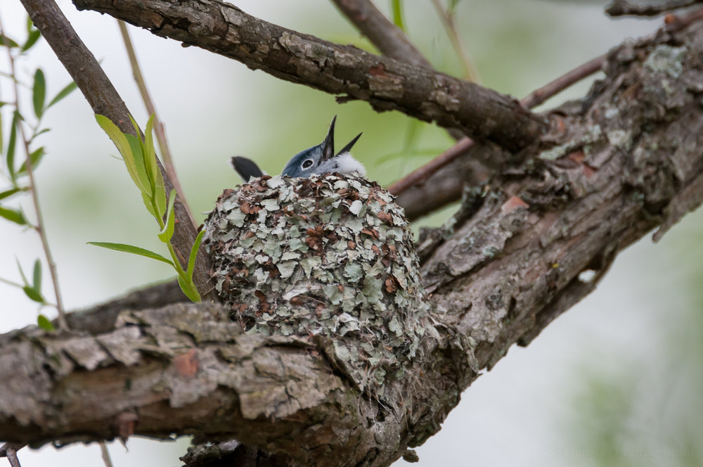 Male Blue-Gray Gnatcatcher singing while sitting in the nest. It is actually working on building the inside of the nest.