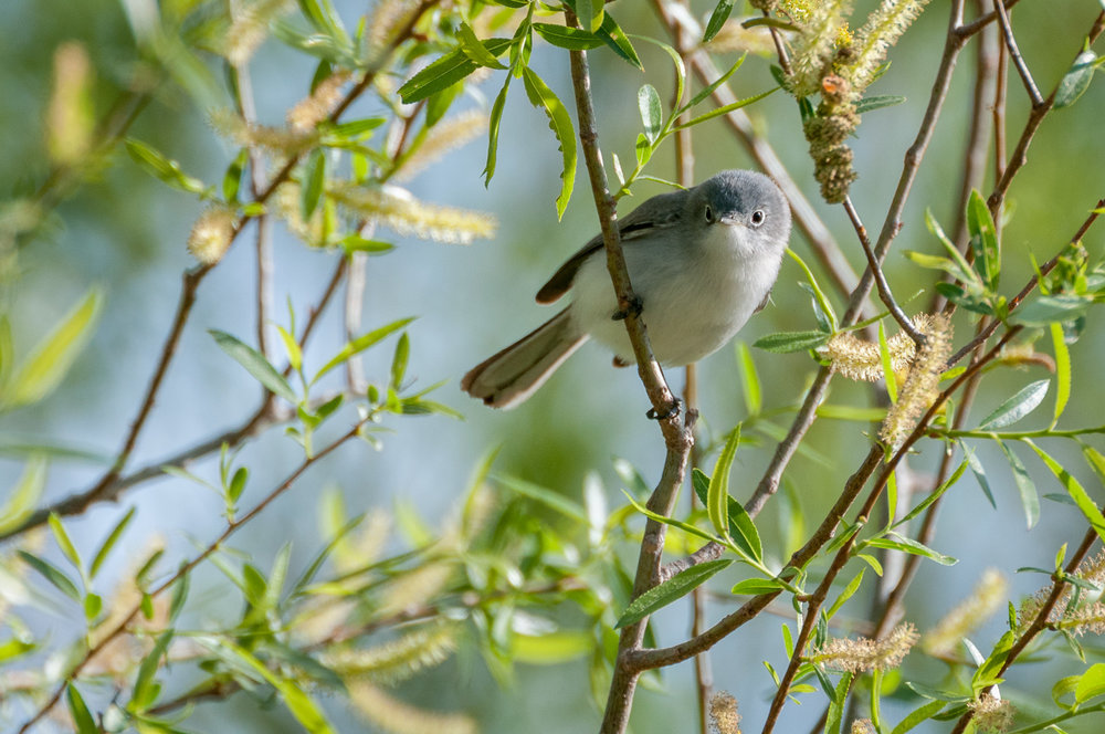 Female Blue-Gray Gnatcatcher sitting on a branch