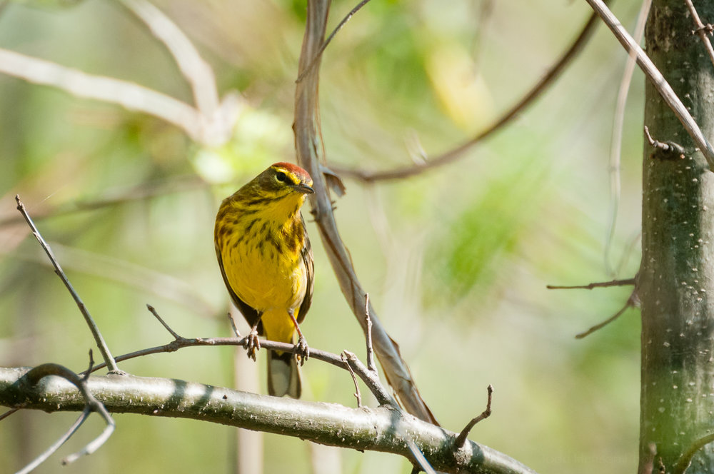 Palm Warbler facing forward. Notice the coloration and patterns of its breast feathers, as well as the chestnut colored crown at the top of its head.