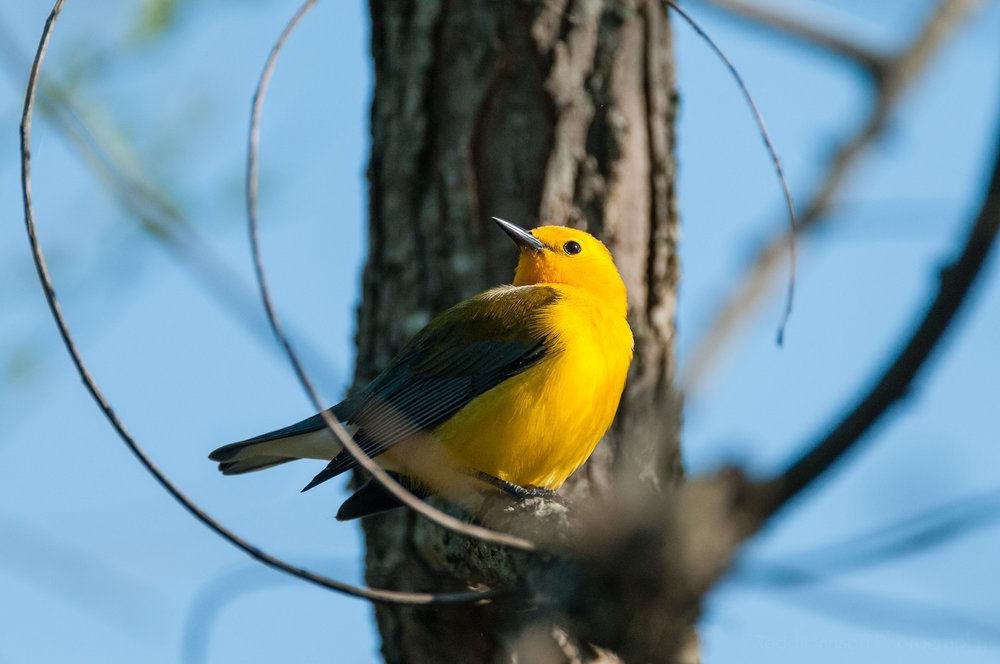 Male Prothonotary Warbler looking over shoulder