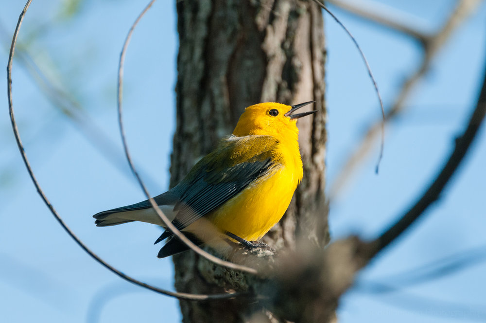 Singing male Prothonotary Warbler, with light illuminating its pupil.