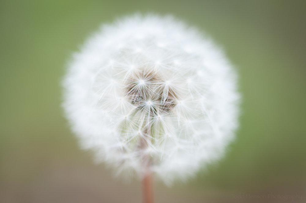 Soft white dandelion puffball with shallow depth of field