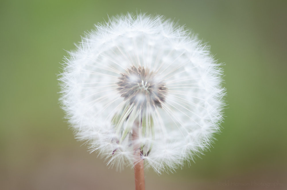 Soft dandelion puffball showing center in focus