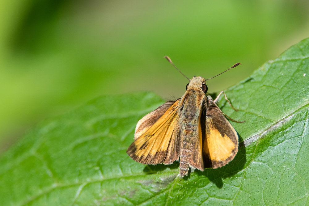 Skipper Butterfly (possibly Zabulon or Hobomok) on a leaf at Dyke Marsh Wildlife Preserve in Alexandria, Virginia.