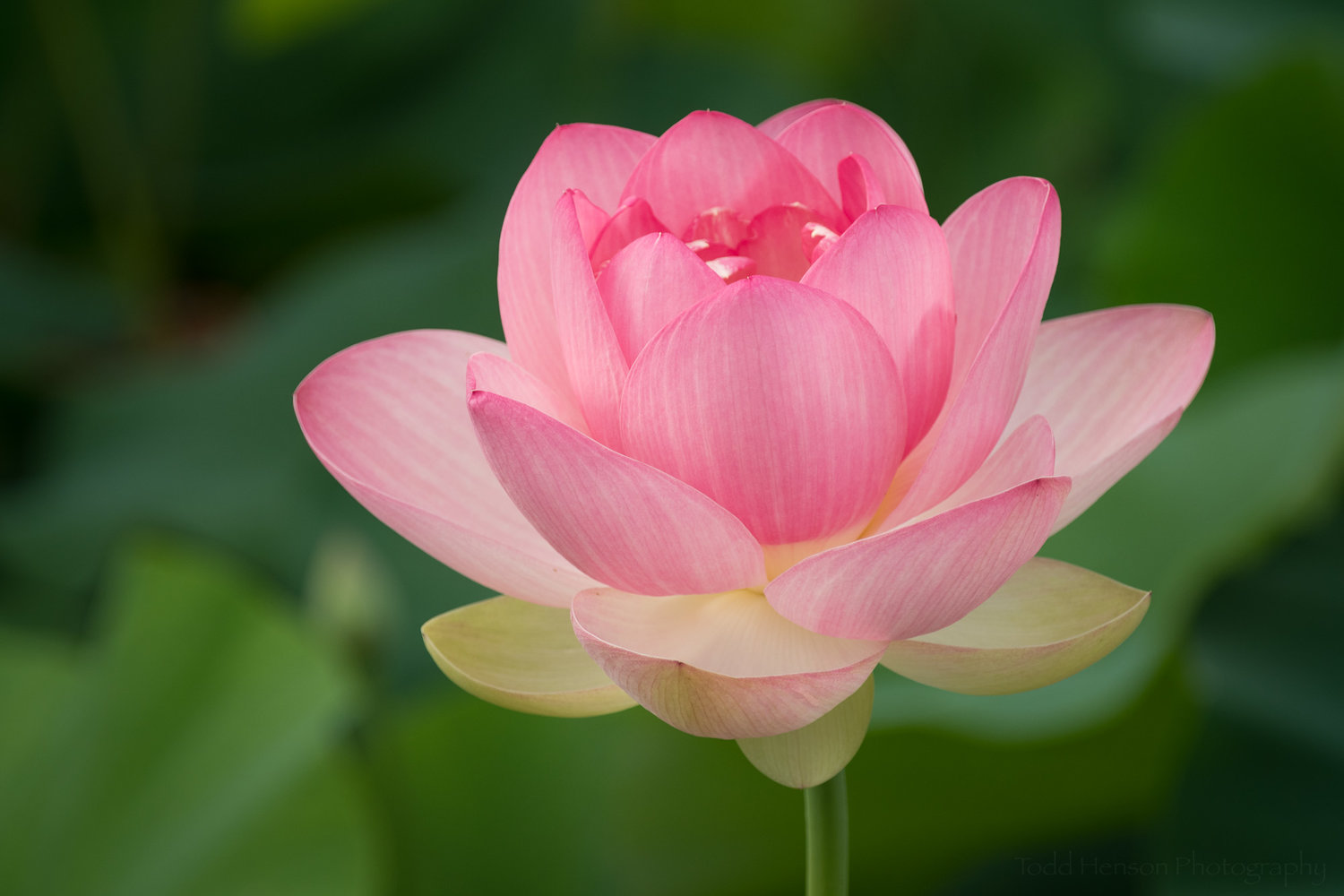 Stages Of A Lotus Flower Blooming At Kenilworth Aquatic Gardens